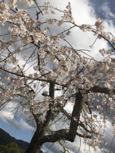 宝ヶ池公園の桜