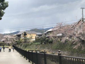 宝ヶ池公園の川沿いの桜並木