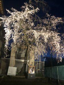 二条城近くの桜